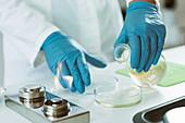 Microbiologist preparing agar plates