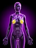 Breast anatomy, illustration
