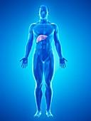 Liver anatomy, illustration