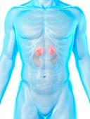 Kidney anatomy, illustration