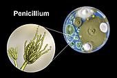 Penicillium fungus, composite image