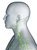 Lymphatic system of the neck, illustration
