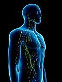 Lymphatic system, illustration