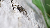 Male wolf spider in courtship display