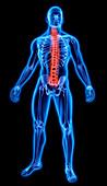 Human spine, illustration