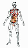Human organs in transparent anatomical model, illustration