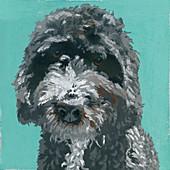 Barbet dog, illustration