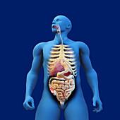 Digestive system of anatomical model, illustration
