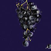 Bunch of purple grapes, illustration