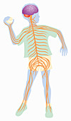Nervous system in boy throwing ball, illustration