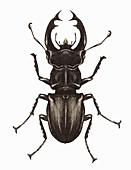 Stag beetle, illustration