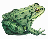 Edible frog, illustration