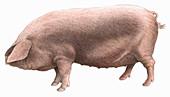 British lop pig, illustration