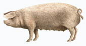Welsh pig, illustration