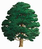 Wych elm, illustration