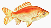 Common goldfish, illustration