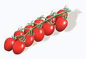 Red Piccolo plum tomatoes on the vine, illustration