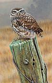 Little owl on fence post, illustration
