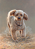 Apricot miniature poodle running illustration