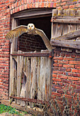 Barn owl flying out of building, illustration