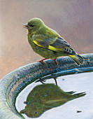 Greenfinch reflected in birdbath, illustration