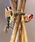 Two goldfinches pecking twine, illustration