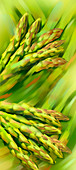 Bunches of asparagus, illustration