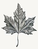 Single maple leaf, illustration