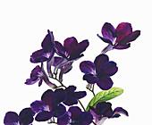 Cape Primrose flowers, illustration