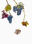 Ripe black grapes hanging on vine in autumn, illustration