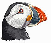 Head of Atlantic puffin, illustration