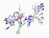 Irises, illustration