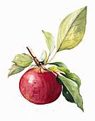 Ripe apple on twig, illustration