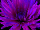 Dahlia flower in ultraviolet light