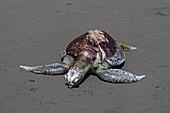 Hawksbill turtle killed by boat propeller