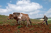Animal drawn plough, Yunnan, China