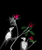 Finches perched on azaelea branches, X-ray