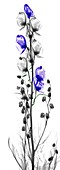 Monkshood (Aconitum sp.) flowers, X-ray