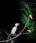 Red crossbill perched in a tree, X-ray