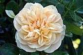 Rose (Rosa 'Charity') flower
