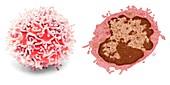 Lymphocyte, SEM-TEM comparison