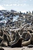 Afro-australian fur seals
