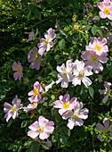 Dog rose (Rosa canina) in flower