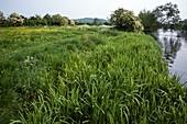 Water meadow habitat, Welford-on-Avon, Warwickshire, UK