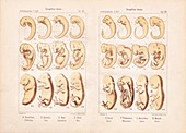 Haeckel on animal and human embryos, 1903