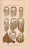 Haeckel on animal and human limbs, 1874