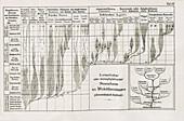 Animal evolutionary tree by Haeckel, 1874