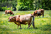 Domesticated cows with bar codes