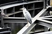 Grey heron in city