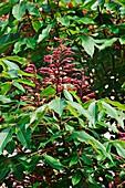 Red buckeye (Aesculus pavia)